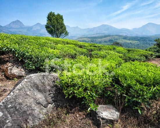 22904230-tea-plantation-kannan-devan-hills-munnar-kerala-india