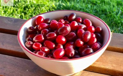 Dřín obecný – okrasný i užitečný keř s jedlými plody